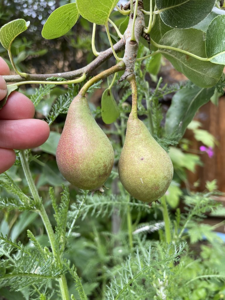 Young pears growing on one of my pear trees