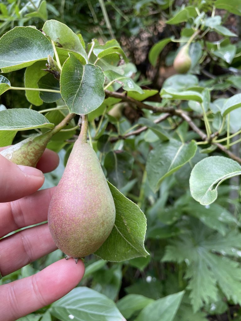 Young pear growing on one of my pear trees